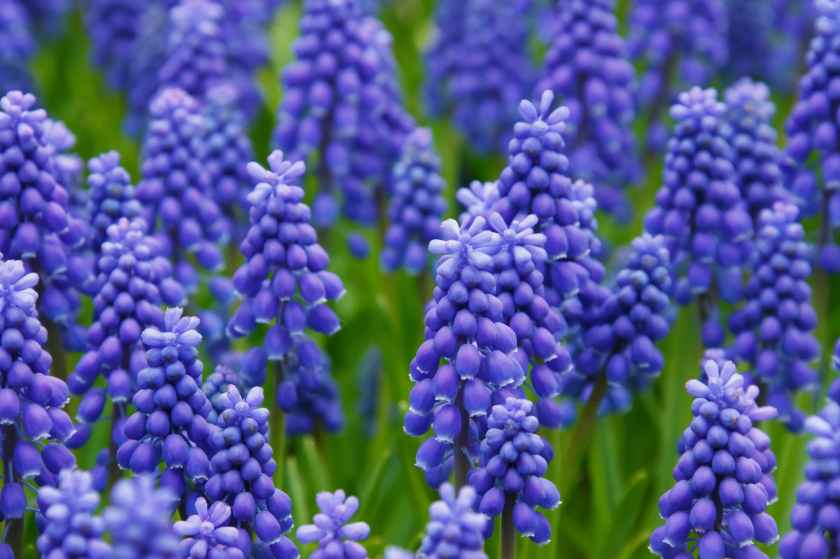 hyacinth-muscari-grape-hyacinth-flowers-87612.jpeg