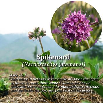 Image result for spikenard plant images